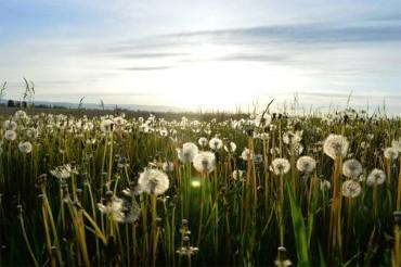 field-of-dandilions